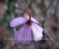Australian Bush Flower Essence: Black-eyed Susan