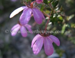 Australian Bush Flower Essence: Dog Rose
