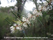 Dagger Hakea helps ease resentment.