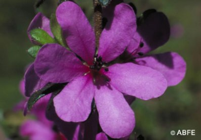 Dog Rose of the Wild Forces can help centre you when everyone around you is in turmoil.