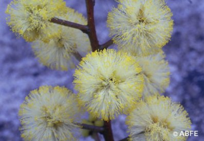 Sunshine Wattle can help you see 'the light at the end of the tunnel'