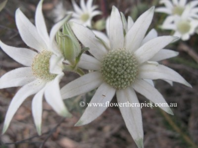 Flannel Flowers © 2011 by Clare Chapman www.flowertherapies.com