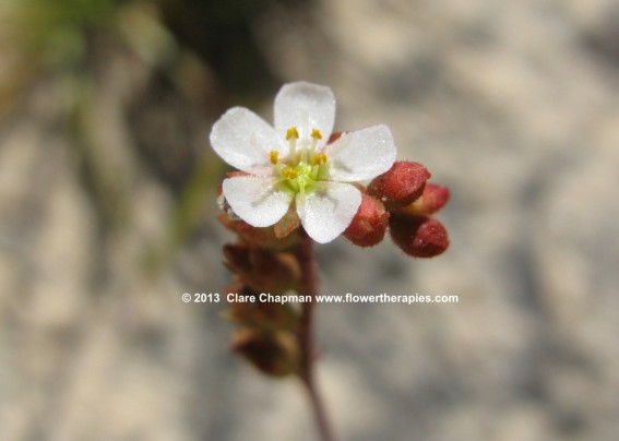 Sundew Flower - photographed by Clare Chapman www.flowertherapies.com